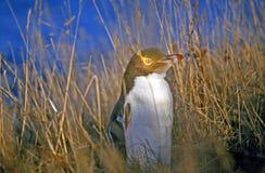 Gelb-gemusterter Pinguin Lizenzfreie Stockfotografie