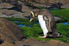 Gelb gemusterter Pinguin mit gestrecktem Stutzen Lizenzfreie Stockbilder