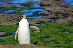 Gelb gemusterter Pinguin sagt hallo stockfotografie
