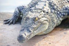 Gelb gemustertes Krokodil stockfoto