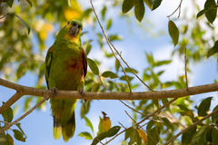 Gelb-gesichtiger Papagei, der auf Niederlassung sitzt Lizenzfreies Stockfoto