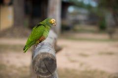 Gelb-gesichtiger Papagei, der auf Niederlassung sitzt Lizenzfreie Stockfotos