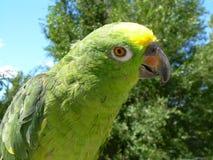 Gelb ging Amazonas voran Stockfotos