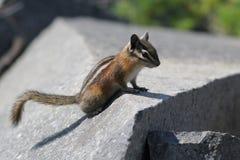 Gelb-Kiefern-Streifenhörnchen auf einem Felsen Stockfotos
