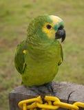 Gelb konfrontierte Amazonas-Papageien Lizenzfreies Stockfoto