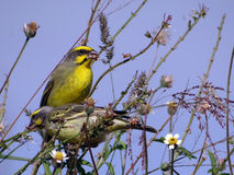 Gelb-konfrontierter Kanarienvogel (Serinus mozambicus) Stockfotos