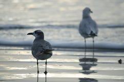 Gelb-mit Beinen versehene Möven auf Strand Stockfotos
