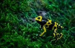 Gelb mit einem Band versehener Giftpfeilfrosch Lizenzfreies Stockfoto