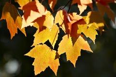 Gelb-orangee Ahornblätter Lizenzfreies Stockfoto