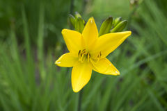 Gelb-orangee Lilienblume Stockfotos