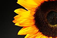 Gelb-orangee Sonnenblume Stockbilder