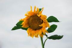 Gelb-orangee Sonnenblume mit grünen Blättern auf weißem Himmelhintergrund Sonnenblumefeld in Ungarn Gro?e gelbe Blume lizenzfreie stockfotografie