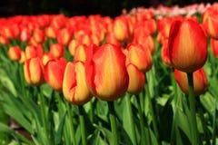 Gelb-orangee Tulpen Lizenzfreies Stockfoto