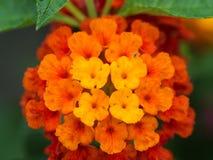 Gelb-orangee und rote Hecken-Blumen Lizenzfreies Stockfoto