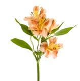 Gelb-orangeer Alstroemeria Lilly Spray Lizenzfreies Stockfoto