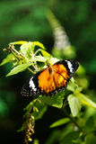 Gelb-orangeer bunter Schmetterling, der auf einem grünen Blatt trocknet seine Flügel stillsteht Stockbilder