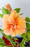 Gelb-orangeer Japaner Rose, Rosa-rugosa, Hibiscus Rosa-sinensis Stockfotos