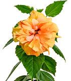 Gelb-orangeer Japaner Rose, Rosa-rugosa, Hibiscus Rosa-sinensis Stockbilder