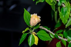 Gelb-orangeer Japaner Rose, Rosa-rugosa, Hibiscus Rosa-sinensis Lizenzfreie Stockfotografie