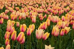 Gelb-rosa Tulpen auf dem Feld lizenzfreie stockbilder