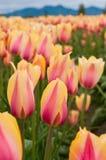 Gelb-rosa Tulpen auf dem Feld stockfotografie