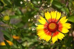 Gelb-Rote Blume im Garten Stockbild