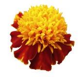 Gelb-rote Blume Tagetes Nahaufnahme; Weiß lokalisierter Hintergrund mit Beschneidungspfad Blühende Ringelblumen Stockfotografie