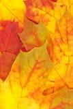 Gelb-rote Herbst-Ahornblätter Stockbilder