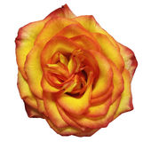 Gelb-rote Rosenblume, Weiß lokalisierte Hintergrund mit Beschneidungspfad Stockbilder