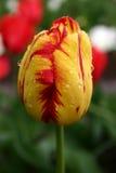 Gelb-rote Tulpe im Regen Stockfotografie
