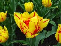 Gelb - rote Tulpe Monsella auf Frühlingsbett Stockfotografie