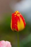 Gelb-rote Tulpe nach Regen mit Regen lässt Nahaufnahme fallen Stockbilder