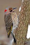 Gelb-Shafted Aufflackern (Colaptes auratus) Lizenzfreie Stockbilder