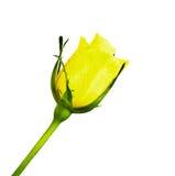 Gelb stieg Lizenzfreie Stockbilder
