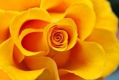 Gelb stieg stockfotos