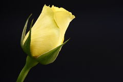 Gelb stieg Stockfotografie