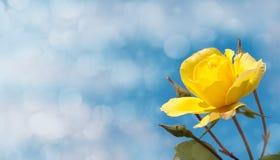 Gelb stieg gegen tiefen blauen Himmel Stockbilder