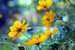 Gelb thickseed Blumen Stockfotos