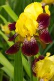 Gelb und Burgunder-Iris Lizenzfreie Stockbilder