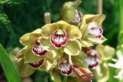 Gelb und Burgunder-Orchideen Stockbilder