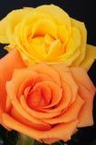 Gelb und Pfirsich Rose Lizenzfreies Stockbild