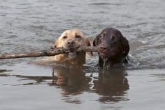 Gelb und schwimmende Chcolate Labrador Apportierhunde Lizenzfreies Stockfoto