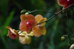 Gelb und Violet Orchid Flower im botanischen Garten, Tschechische Republik, Europa stockfoto