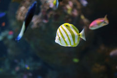 Gelb und Weiß streifte Schmetterlingsfische innerhalb des Aquariums ab Lizenzfreies Stockfoto