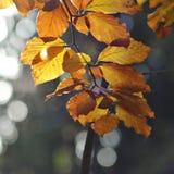 Gelb verlässt auf einem Buchenbaum am Herbst Lizenzfreie Stockbilder