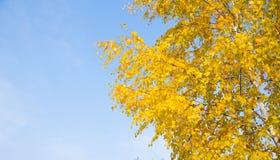 Gelb verlässt auf einer Niederlassung gegen den blauen Himmel im Herbst Lizenzfreies Stockfoto