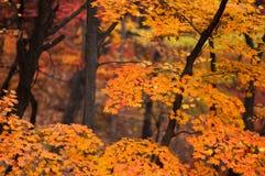 Gelb verlässt auf Niederlassung des Ahorns im Herbst Lizenzfreie Stockfotos