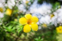 Gelb von Blumen morgens mit bokeh vom grünen Blatthintergrund Lizenzfreies Stockfoto