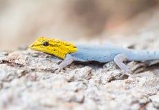 Gelb-vorangegangener zwergartiger Gecko stockfotos