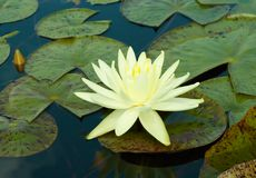 Gelb waterlily Stockfotos